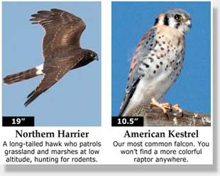 Northern Harrier and American Kestrel