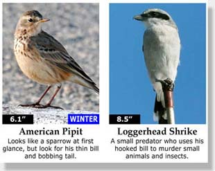 American Pipit and Loggerhead Shrike