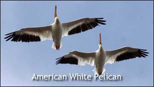 (Photo: American White Pelicans)